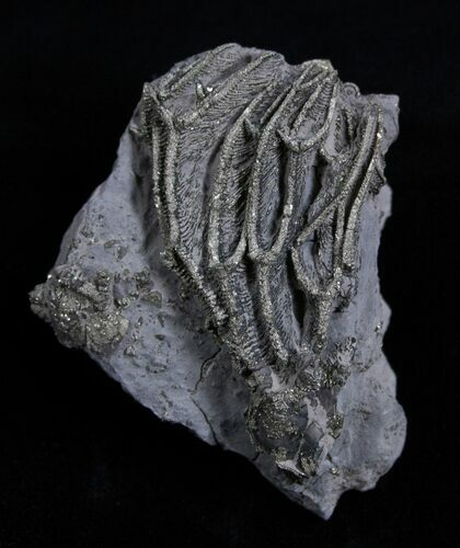 Pyritized Crinoid Arthroacantha - Sylvania, Ohio